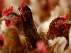 Chicken farm 'poses danger to drivers'