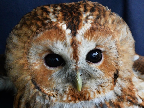 What a hoot! Stone owl leaves RSPCA officer red-faced after 55-mile drive