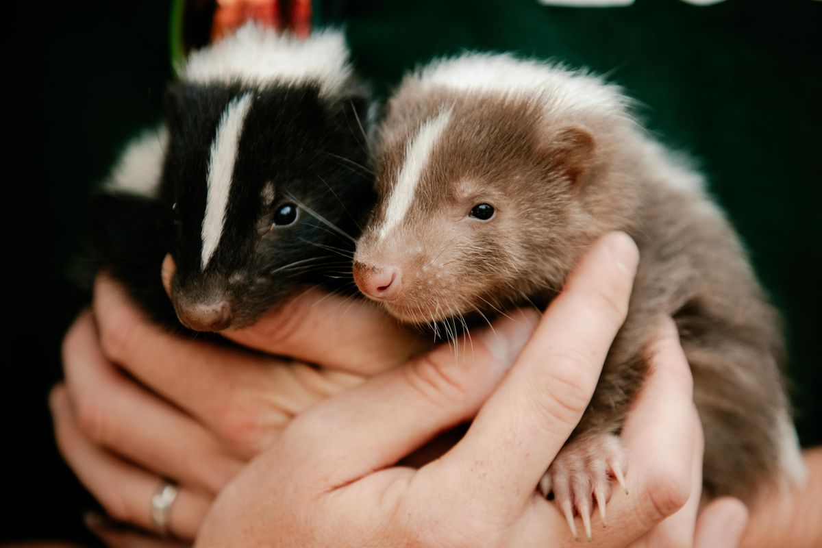 Two of the baby skunks