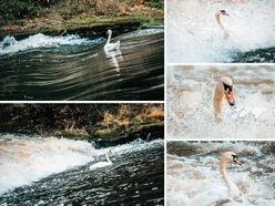 When a mere weir got the better of this swan in Shrewsbury - with pictures and video