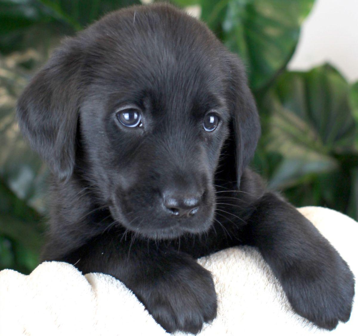 Harmony, a six week old female Labrador cross Golden Retriever