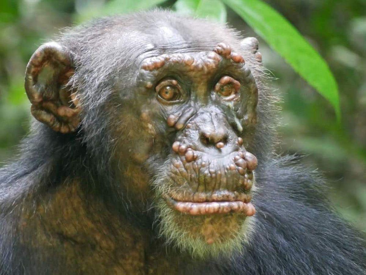 Chimpanzee with leprosy