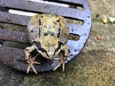 Firefighters rescue frog stuck in drain cover