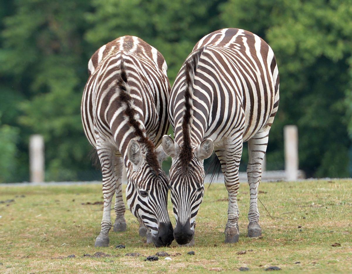 Is a zebra living near you?