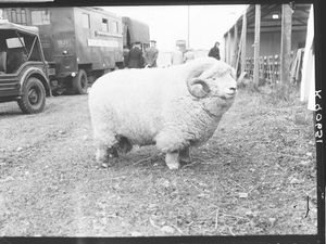 The 'absolute unit' ram from the Museum of English Rural Life