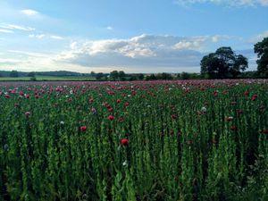 The beautiful poppies near Newport. Photo: Catherine Lamond