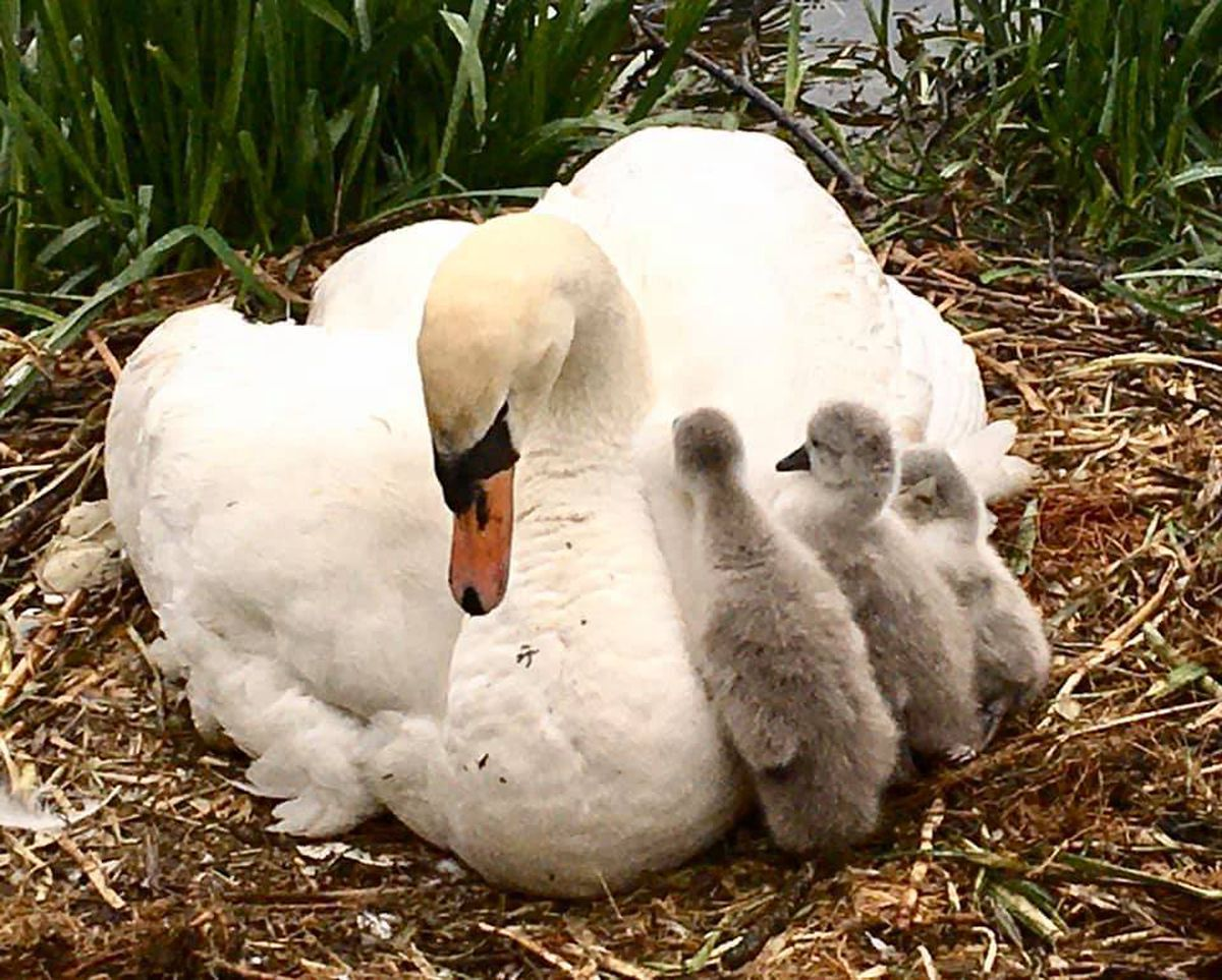 Beatrice and three of the cygnets last year