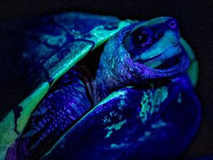 The animals may glow to attract a mate or to mark their territory