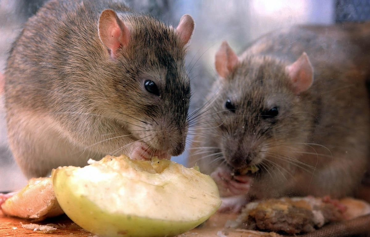 Are the rats getting closer to us?