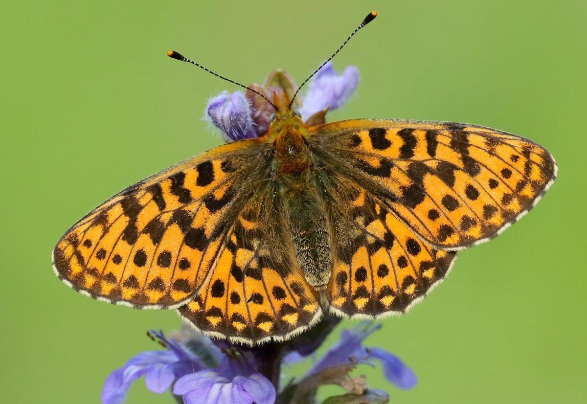The small pearl-bordered fritillary is one of the butterfly and moth species helped