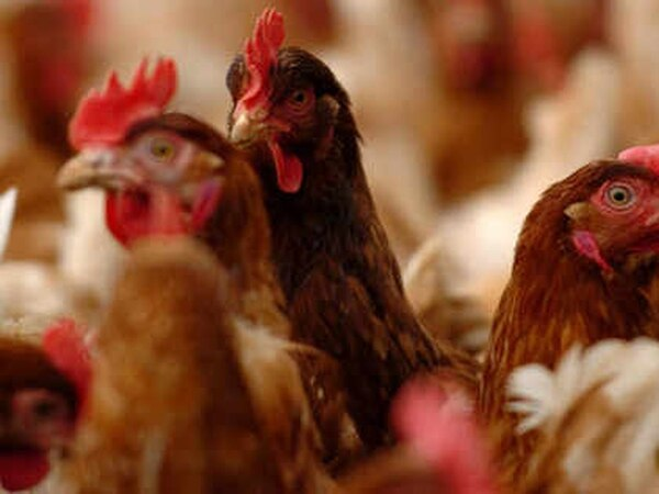 Second try at unit for 32,000 chickens at farm near Newtown