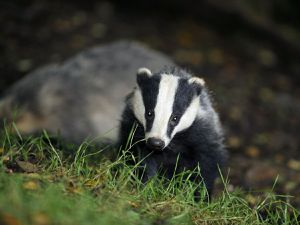 Setts cannot be disturbed under the Protection of Badgers Act 1992
