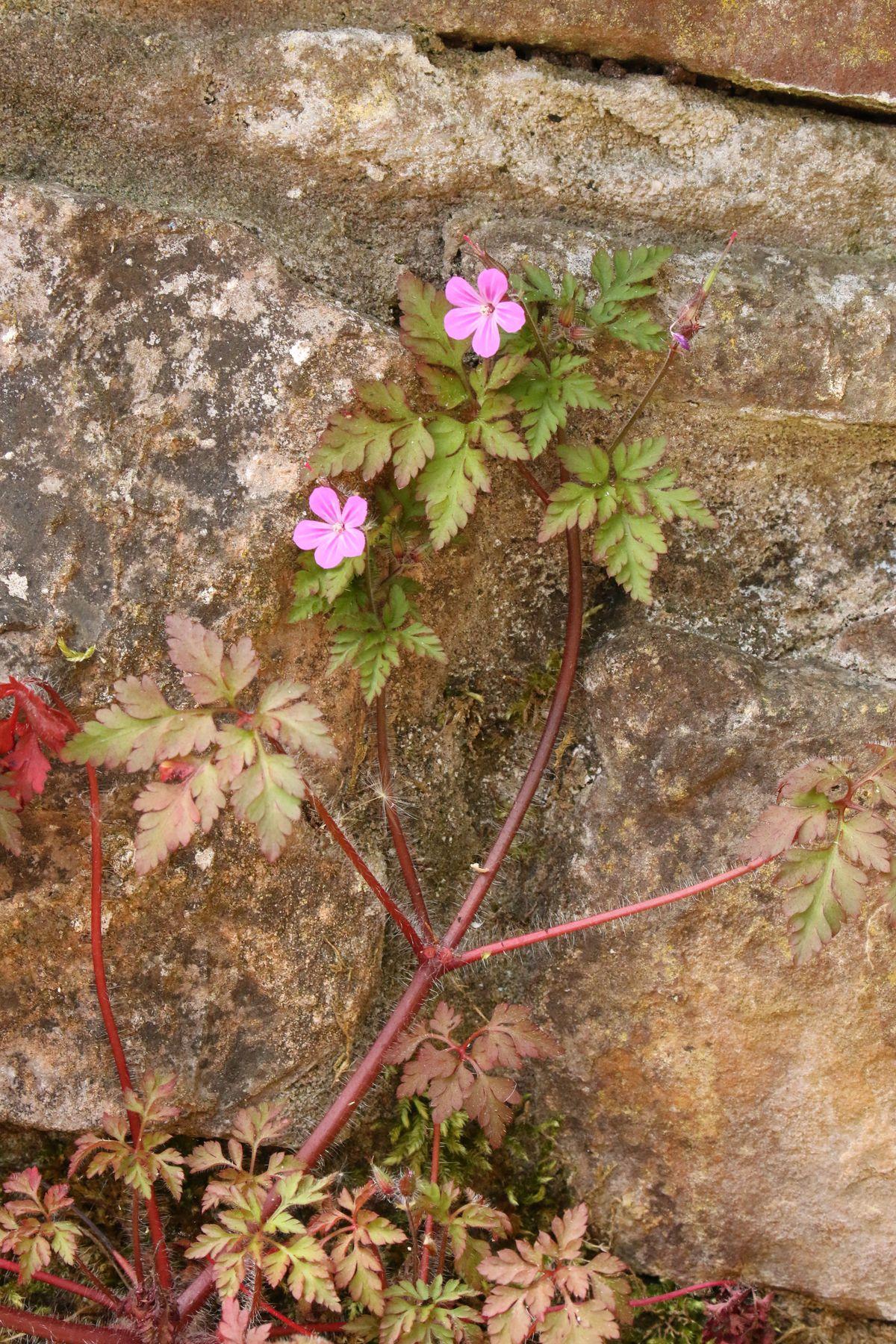 Herb Robert is a species of geranium.