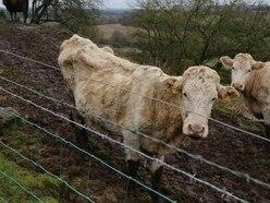 Investigation over 'skeletal' cows at farm near Bridgnorth