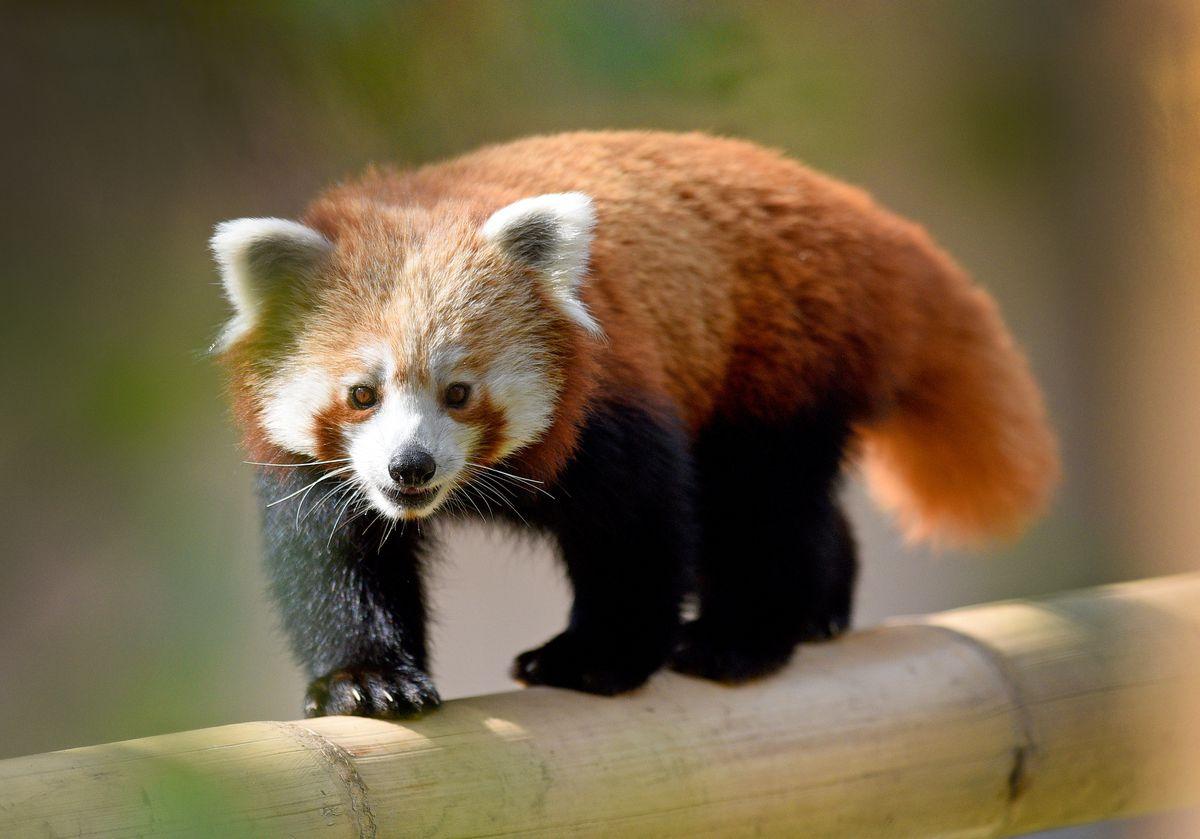 Mei Lin arrived from Welsh Mountain Zoo in July