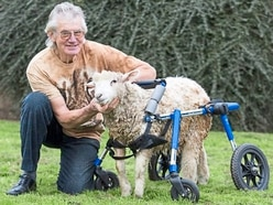 On the move in Market Drayton: Lamby the disabled sheep gets her own wheels