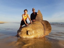 Giant sunfish washes up on Australian beach