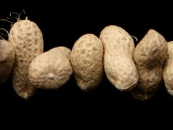 Severe peanut allergy could be beaten by building up tolerance, study claims