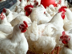 Chicken farms endangering Shropshire wildlife, says trust