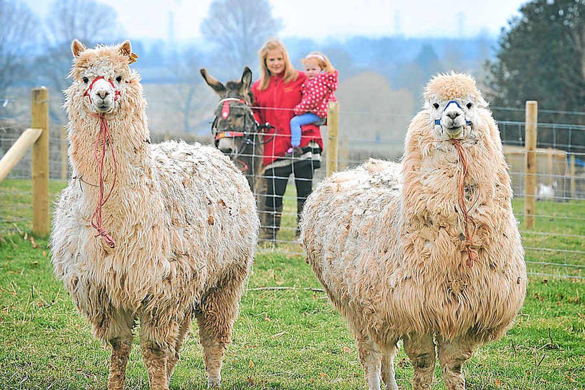 Alpaca arrivals for Tony's Bridgnorth park venture