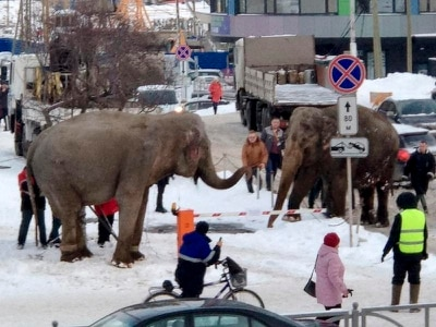 Elephants play in snowy Russian streets after bid to say goodbye to the circus