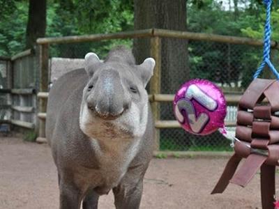 Drayton Manor celebrate much-loved tapir's 21st birthday