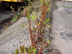 Action call on invasive Japanese Knotweed plant