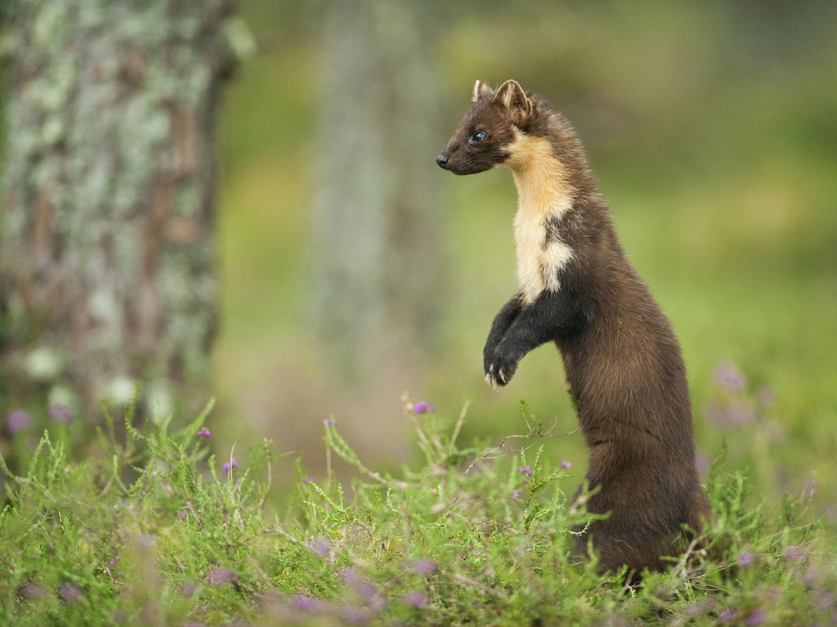 A Pine Marten. Photo by Terry Whittaker