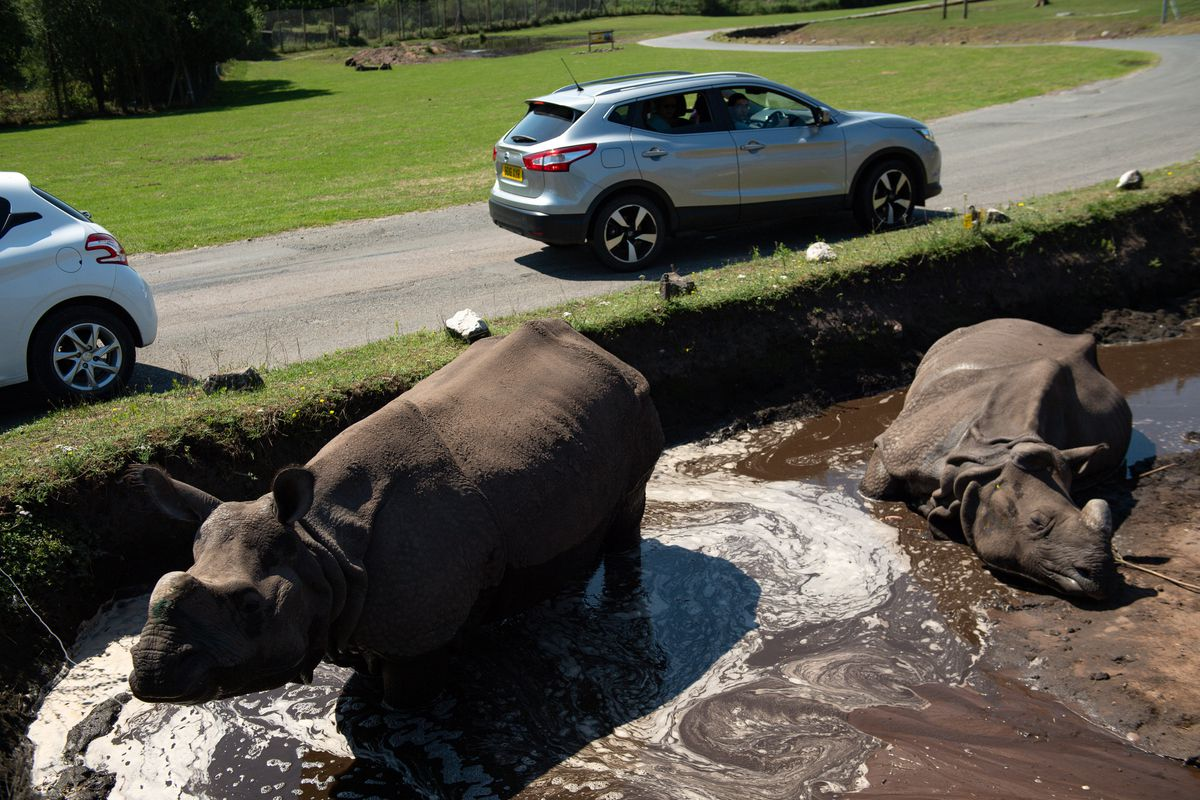 Indian rhinoceros Sunanda and Seto cool down at West Midland Safari Park in Bewdley