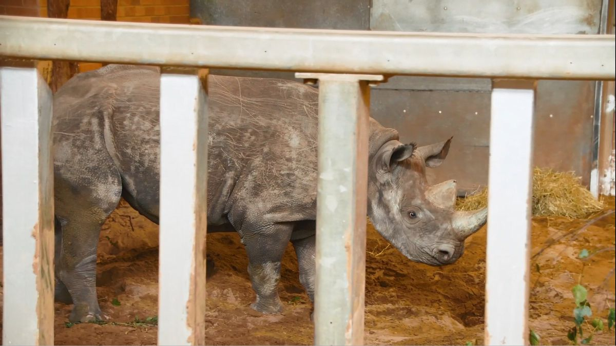 A new eastern black rhino has arrived at Twycross Zoo