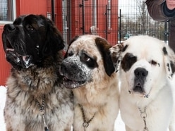 A trio of giant dog siblings who can't be separated are about to find a home
