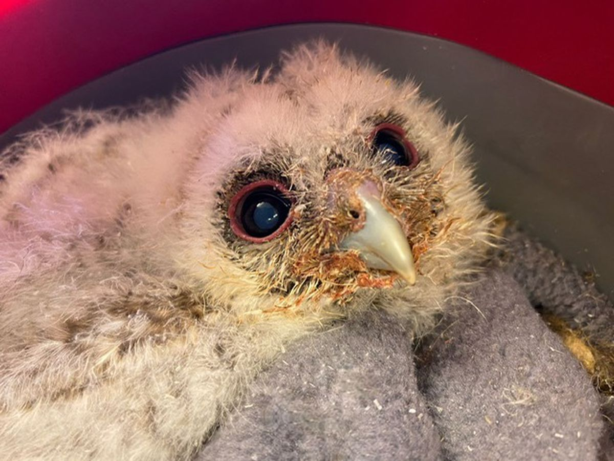 Baby owlets at Cuan Wildlife Centre