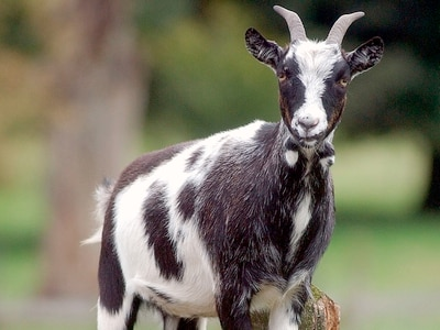 Police called as angry goat chases women up trees in Telford