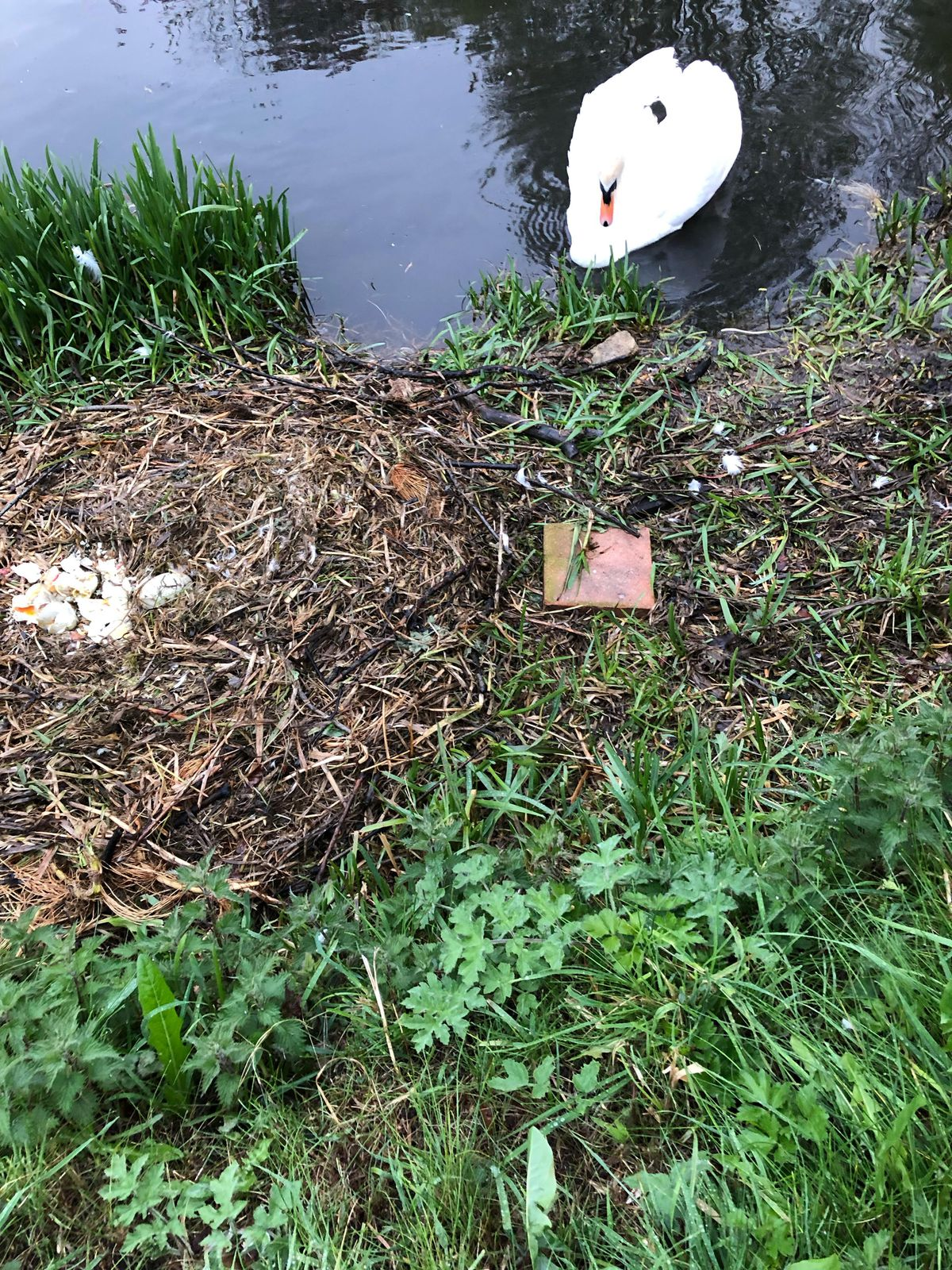 A swan looks on at the destroyed nest