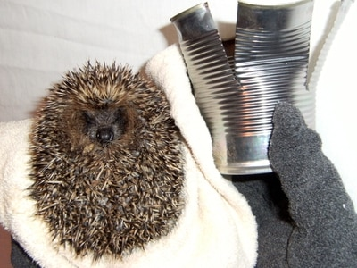 Hedgehog on road to recovery after getting trapped in can