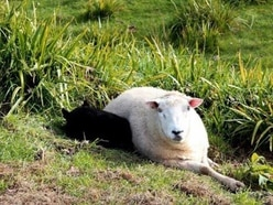 The heartwarming tale of how a bullied sheep became friends with a wild pig