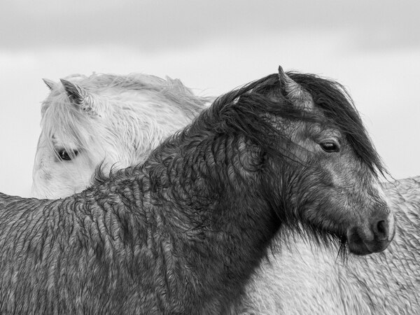 Bridgnorth vet scoops photo prize with wild horses on the Long Mynd