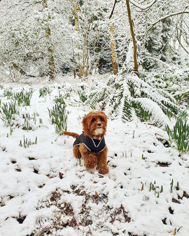 Bear the cavapoo enjoying a snow day. Photo: Abi Hudson
