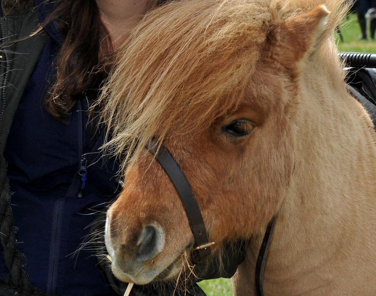 Marty the therapy pony