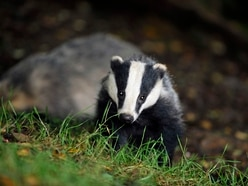 Shropshire sees increase of TB cases in cattle as badger cull on cards