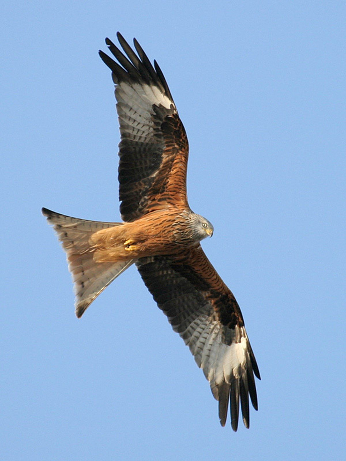 Red kites have also started appearing at the 'African savannah' at Holly Banks