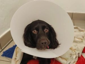 Ralph recovering at PDSA after his emergency operation to remove the face mask