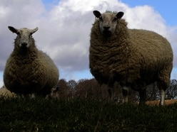 Sheep worrying warning by Shropshire National Trust estate