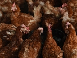Farmers on bird flu alert but poultry chiefs say Christmas turkeys not at risk