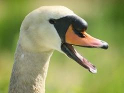 Yobs kill swan at Telford lake