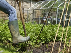 A muddy welly digging a fork on a private allotment vegetable garden..