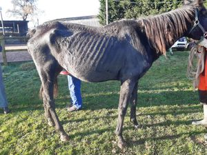 A horse under the care of Roll. Photo: RSPCA