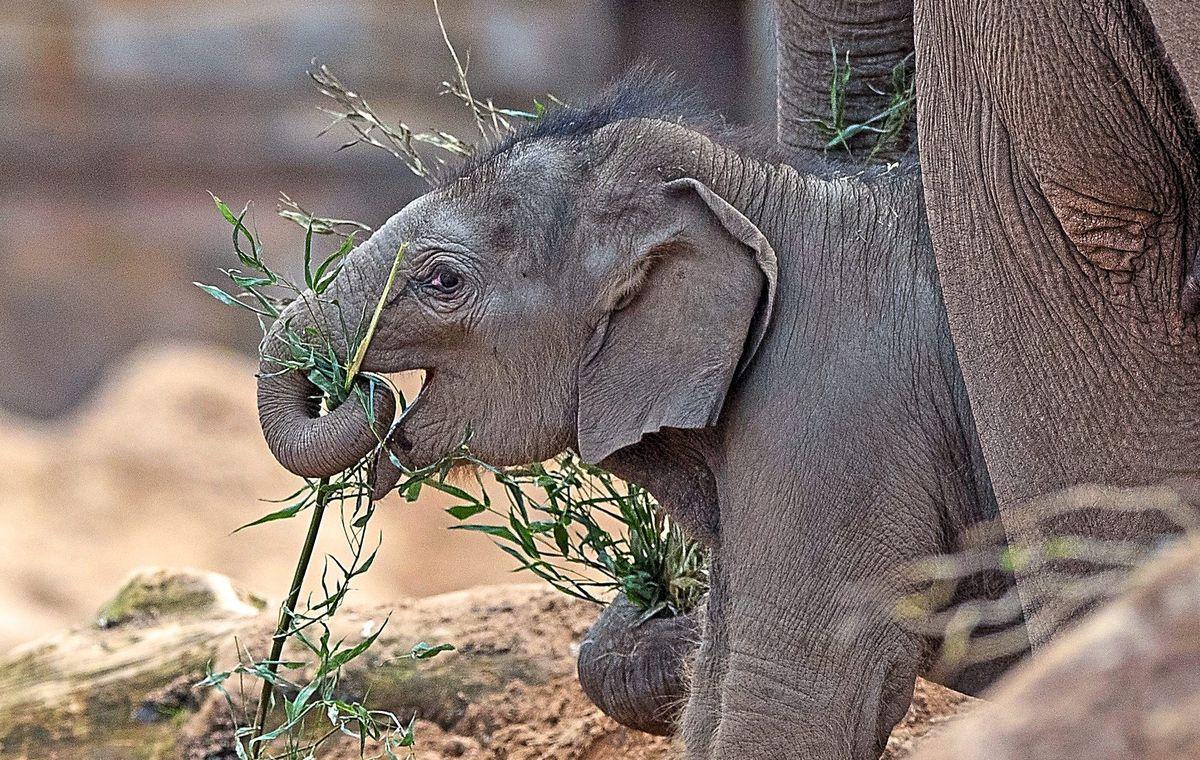 Riva Hi Way, a baby Asian elephant calf born earlier this year at Chester Zoo