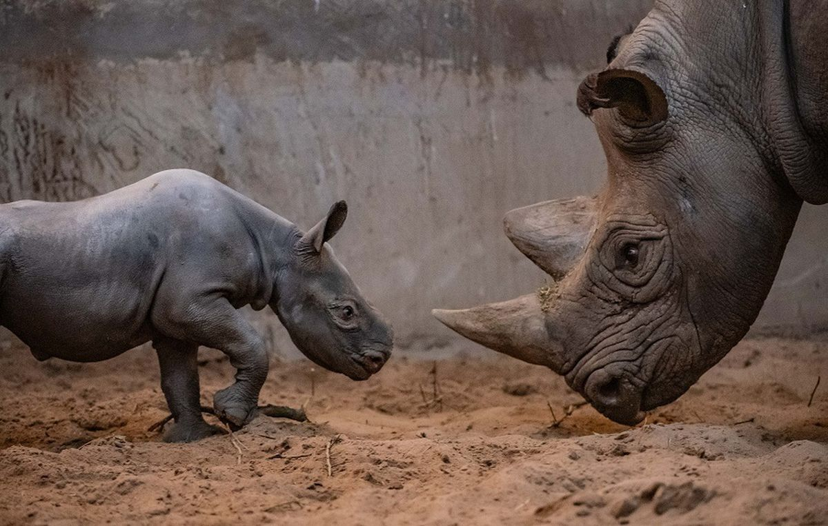 The new baby rhino with his mother at Chester Zoo