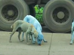 The sad reason why stray dogs are turning blue in Mumbai